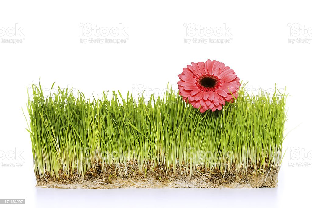 Green grass with flower royalty-free stock photo