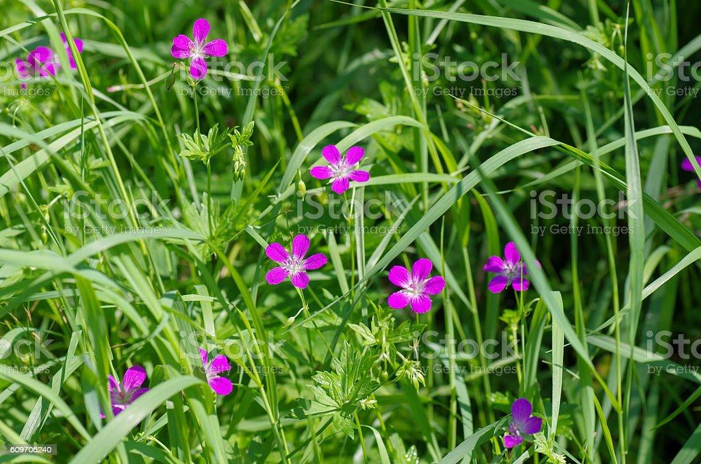 Green grass with Geranium pretense flowers. Summer, meadow stock photo