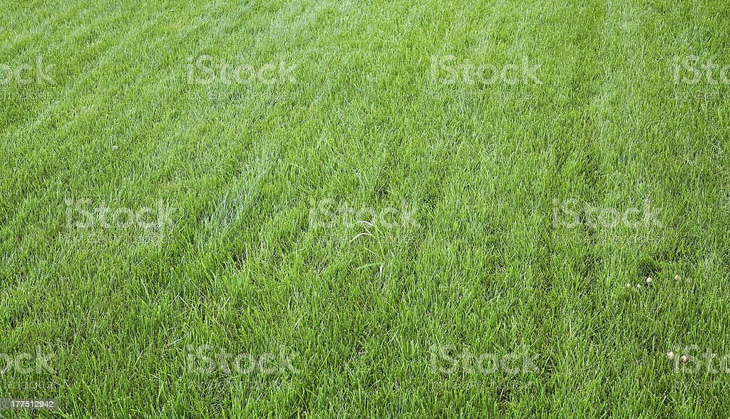 Green grass with litlle mushrooms. royalty-free stock photo