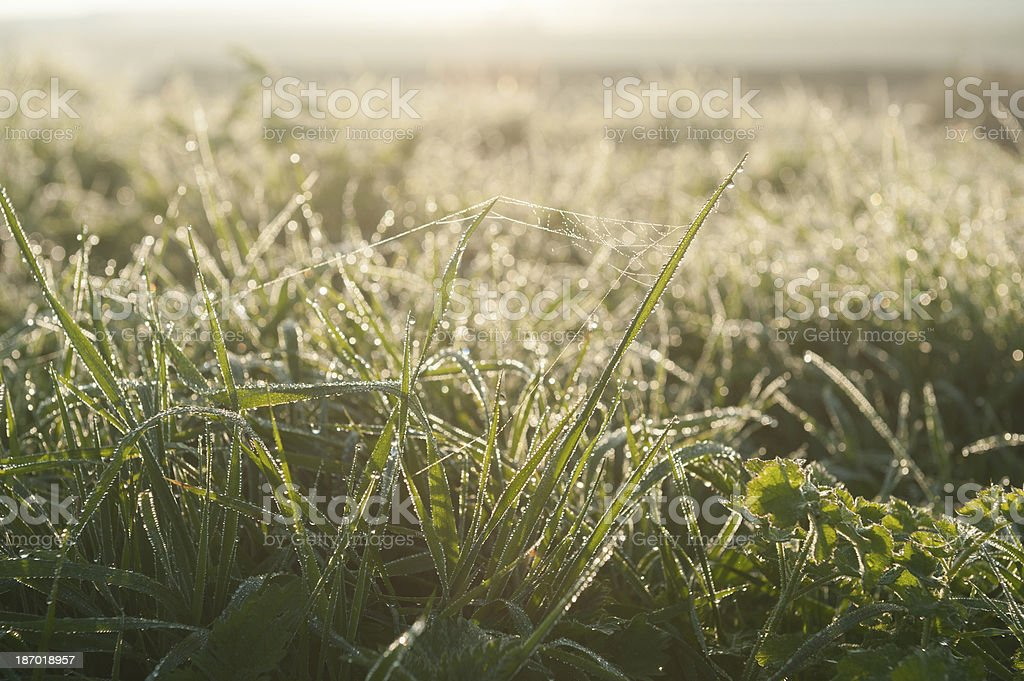 green grass with morning dew royalty-free stock photo