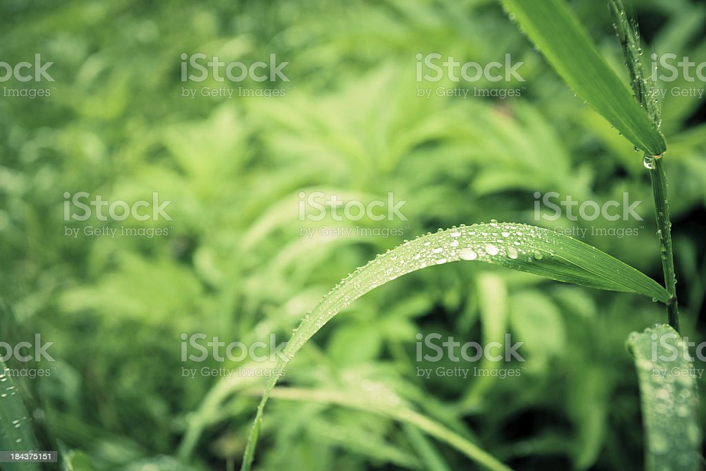 Green Grass with Water Drops Background royalty-free stock photo