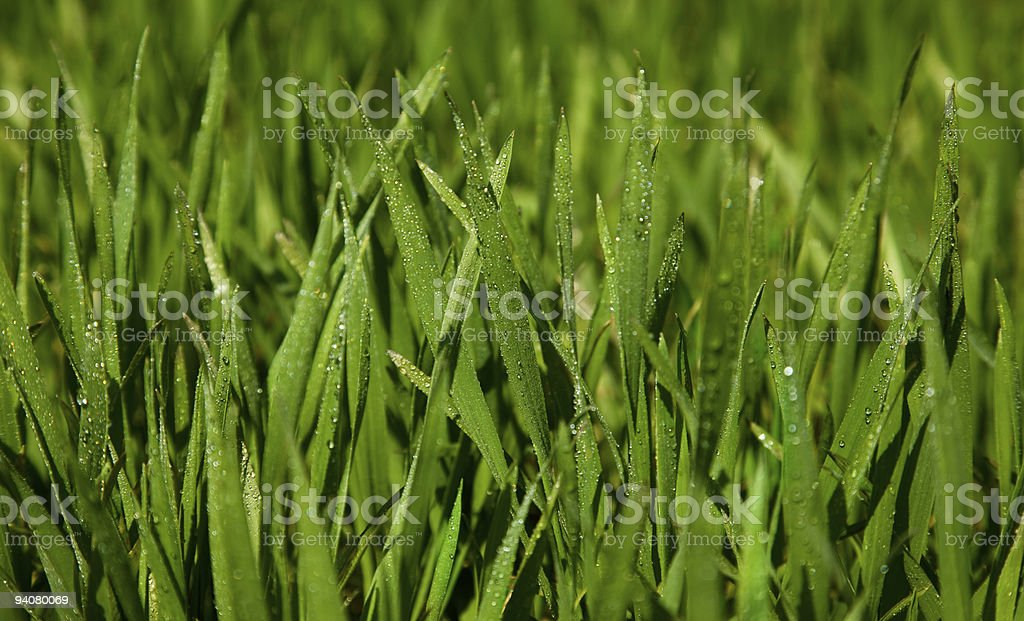 green grass with water drops stock photo