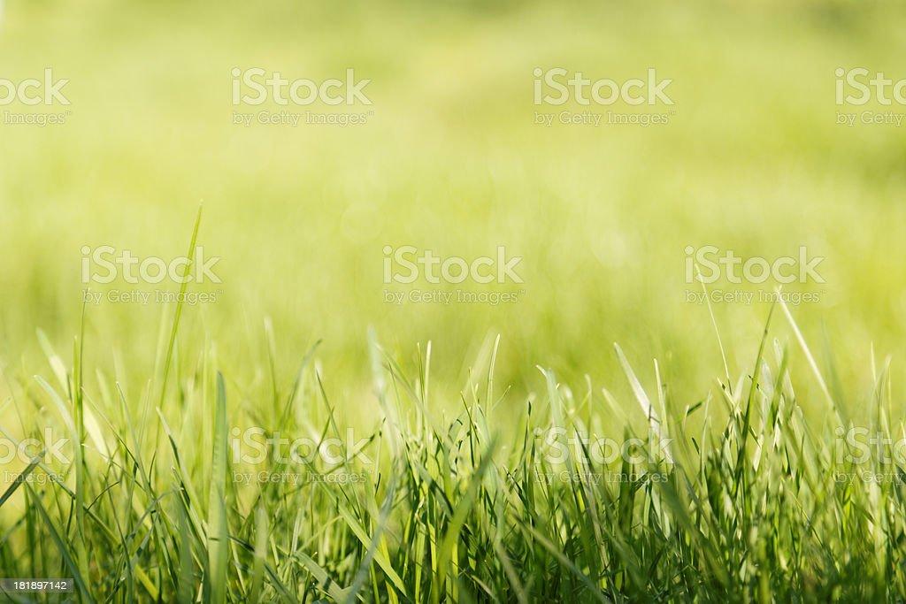 Green grass XXXL royalty-free stock photo