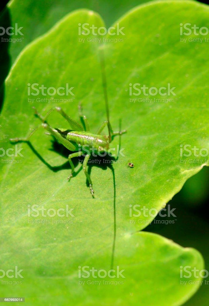 green grasshopper and tiny bug stock photo