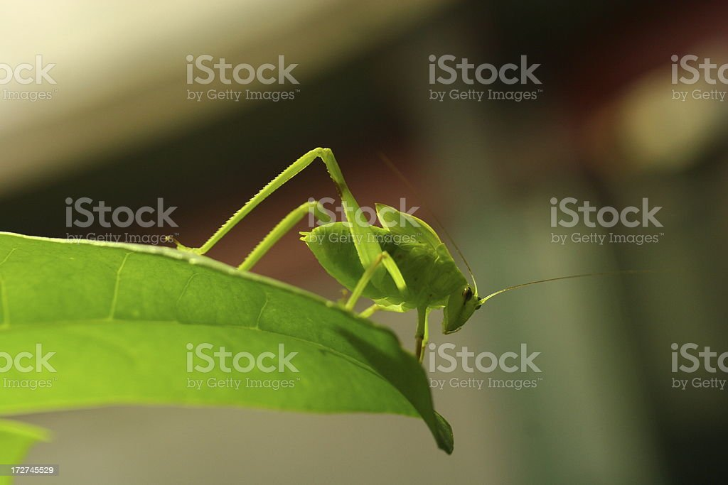 Green grasshopper hanging at the tip of a leaf royalty-free stock photo