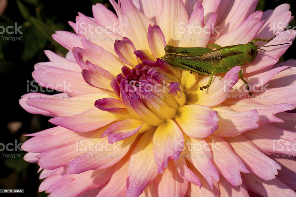 Green Grasshopper Hiding in a Colorful Dahlia Flower stock photo