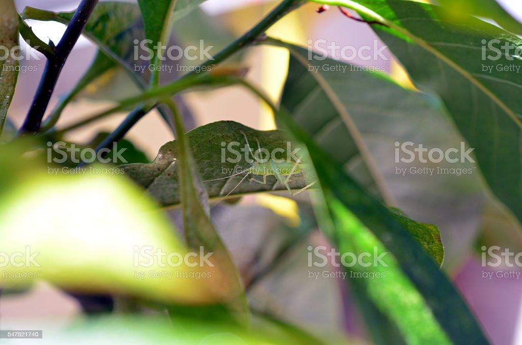 green grasshopper hiding on a leaf stock photo