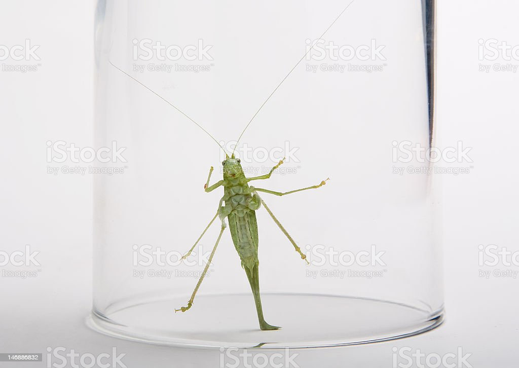 Green grasshopper in glass royalty-free stock photo