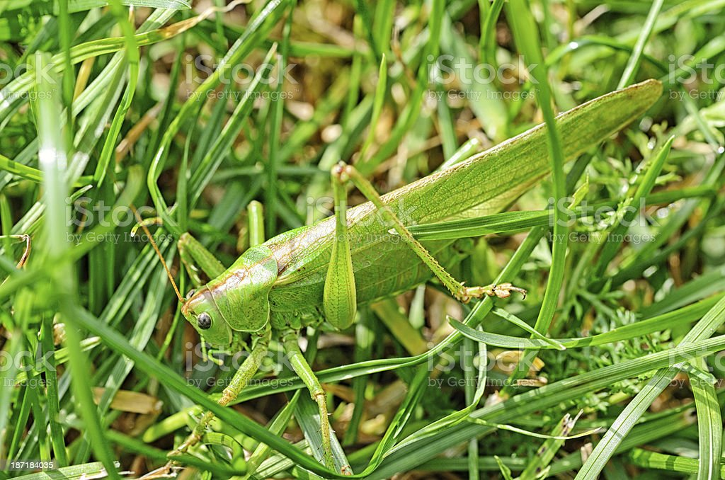 Green grasshopper in grass royalty-free stock photo