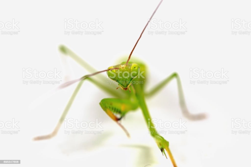 Green grasshopper isolated on white background. stock photo