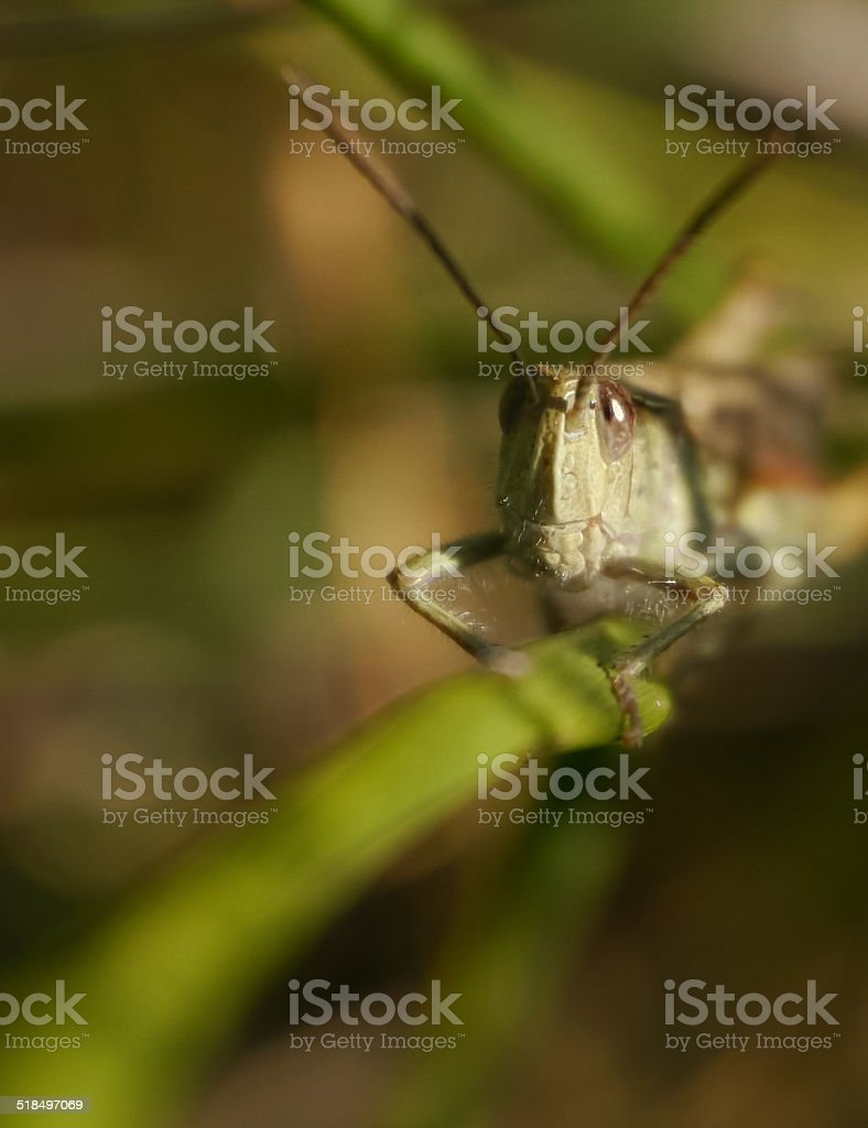 Green grasshopper on a blade of grass royalty-free stock photo