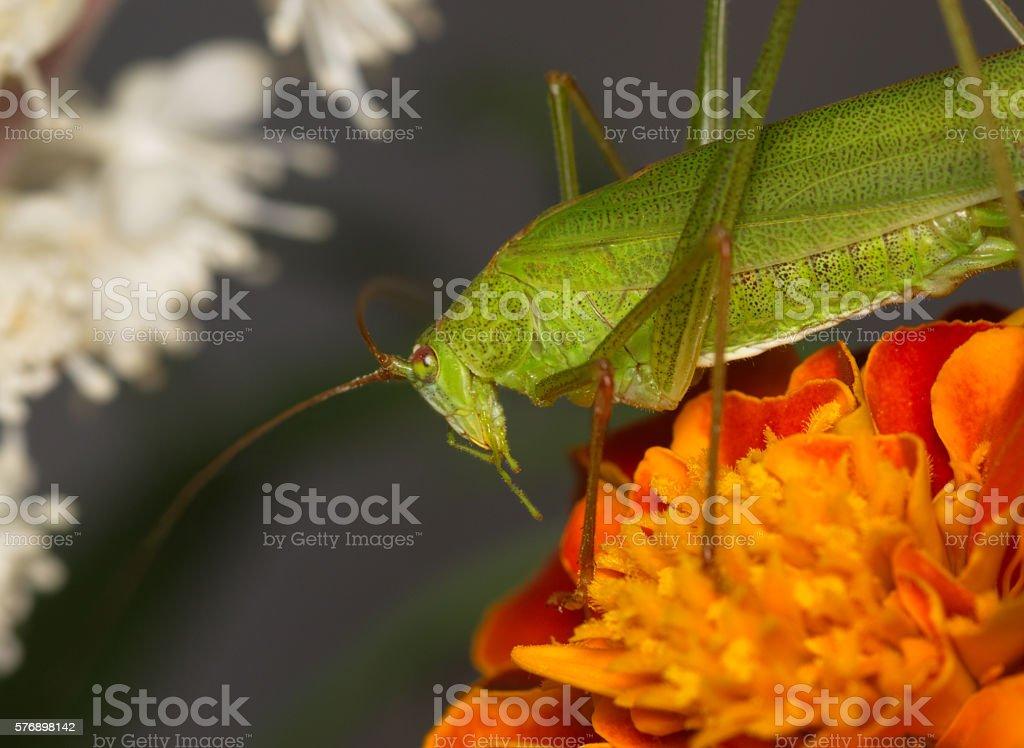 Green grasshopper on an orange flower stock photo