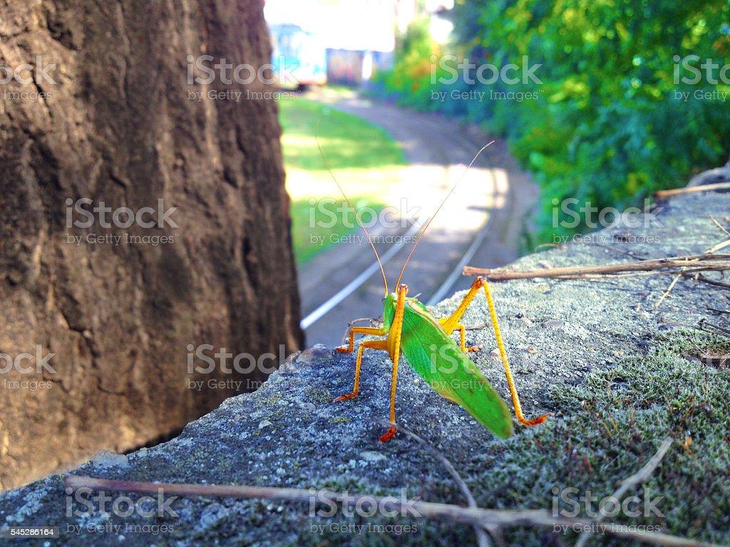 Green Grasshopper on asphalt stock photo