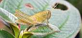 Green grasshopper on green leaves