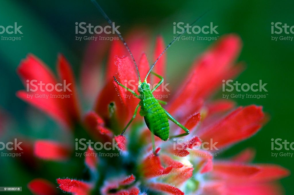 Cavalletta verde sul fiore di Macro Pennello di vernice indiano foto stock royalty-free