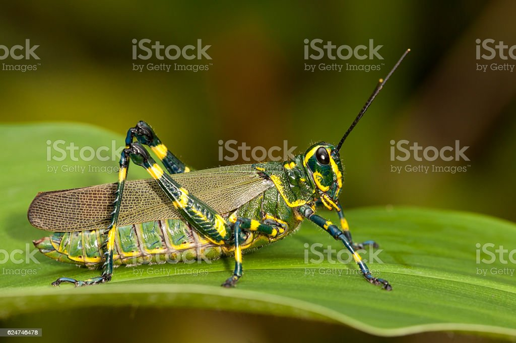 Green grasshopper on leaf stock photo