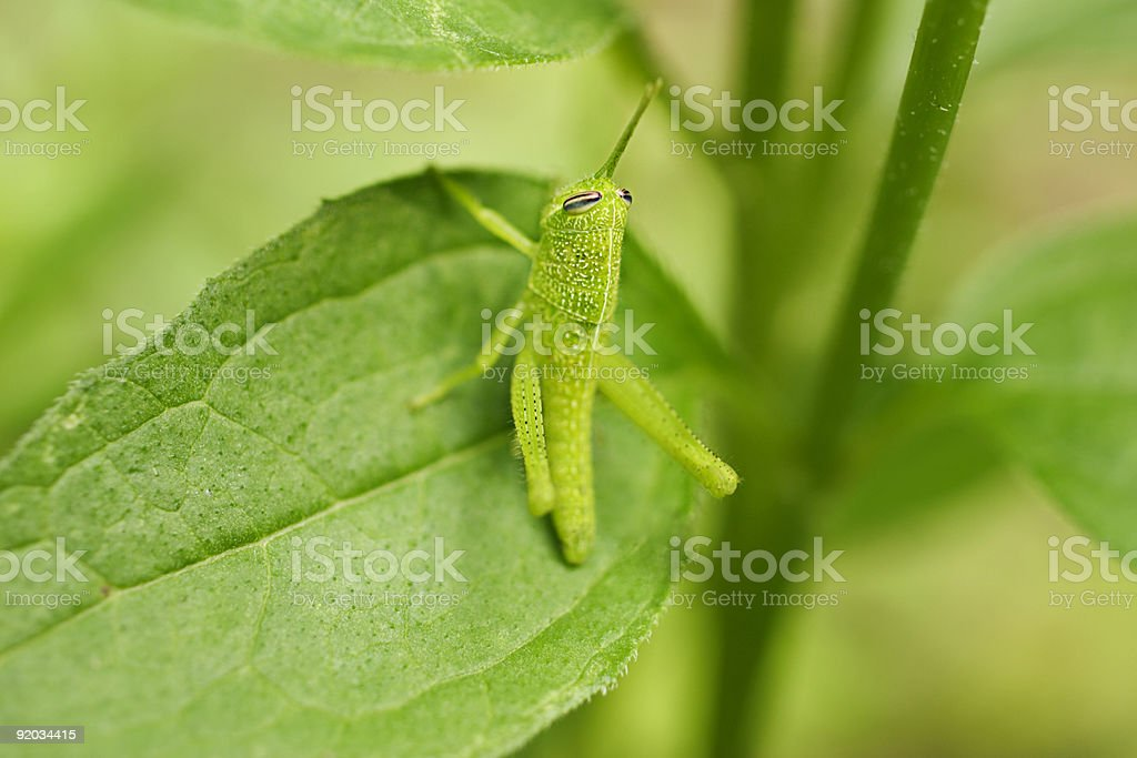 Green Grasshopper on Leaf royalty-free stock photo