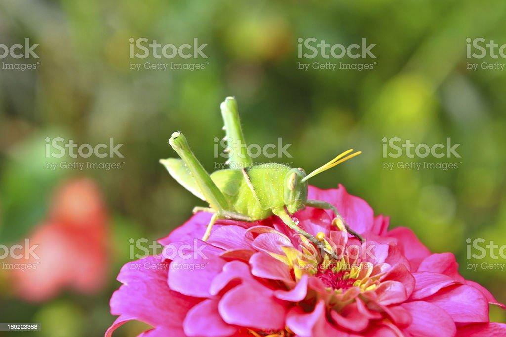 green grasshopper on pink zinnia royalty-free stock photo