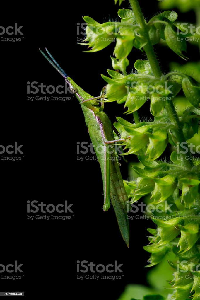 green grasshopper on the black background stock photo