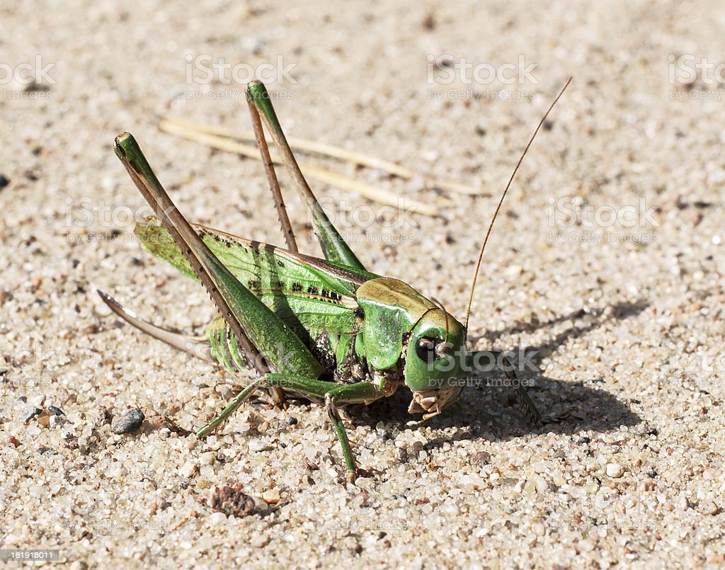 green grasshopper perching on a gravel royalty-free stock photo