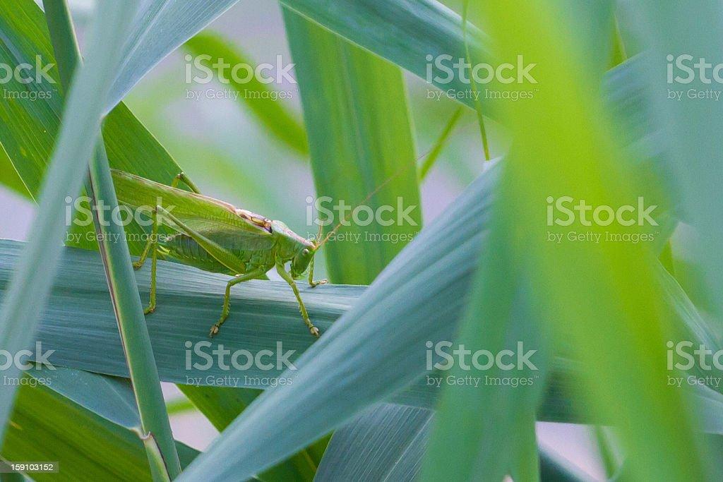 Green grasshopper royalty-free stock photo