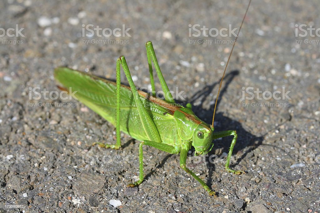 Green Grasshopper royalty-free stock photo