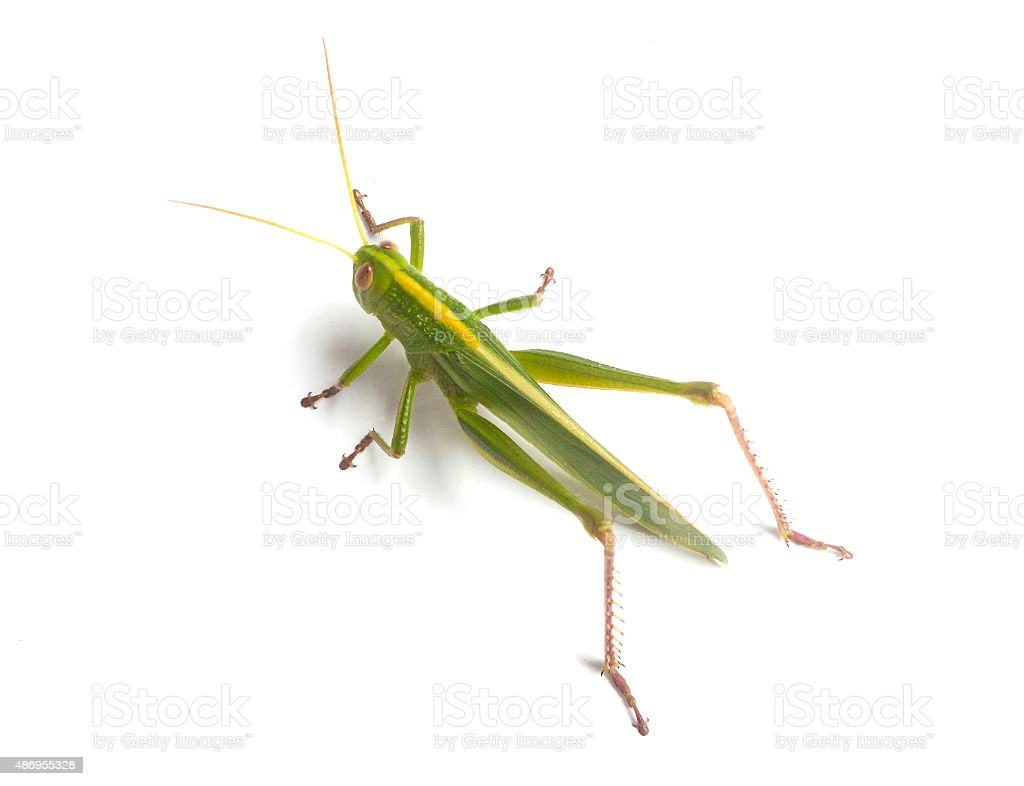 Green Grasshopper stock photo