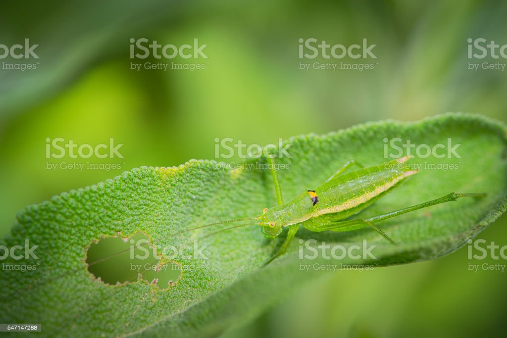 Green grasshopper resting on the leaves of grass stock photo