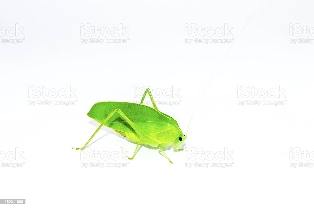 Green Grasshopper side view royalty-free stock photo