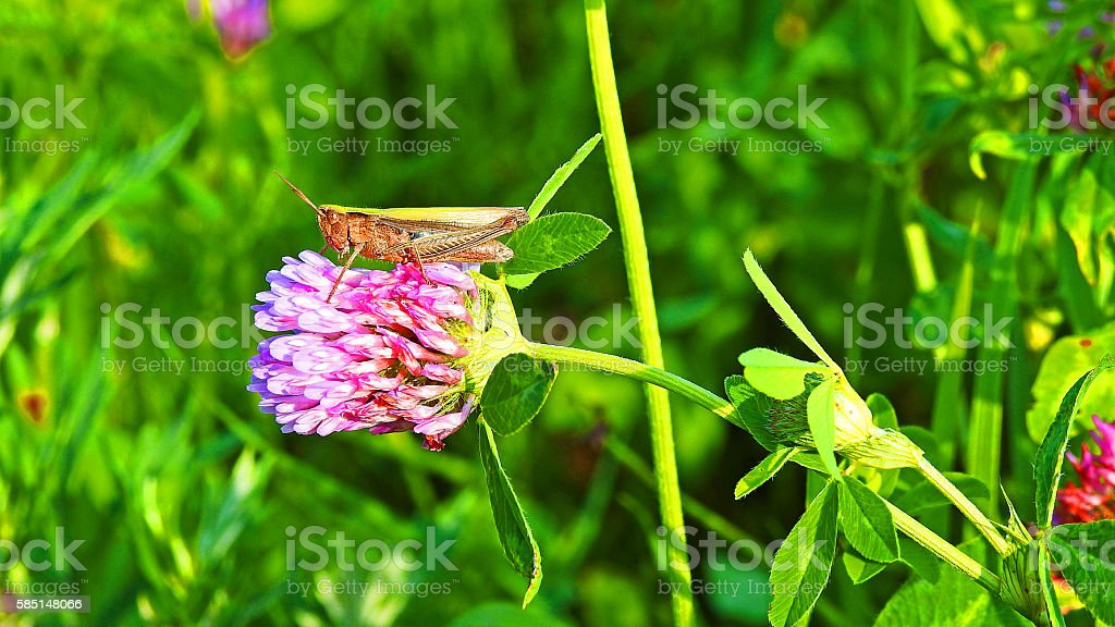 Green grasshopper sitting on clover. stock photo