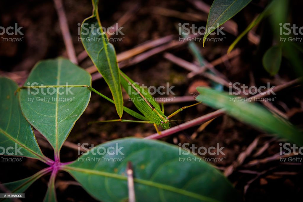 green grasshopper sitting on green grass leave under sunlight stock photo