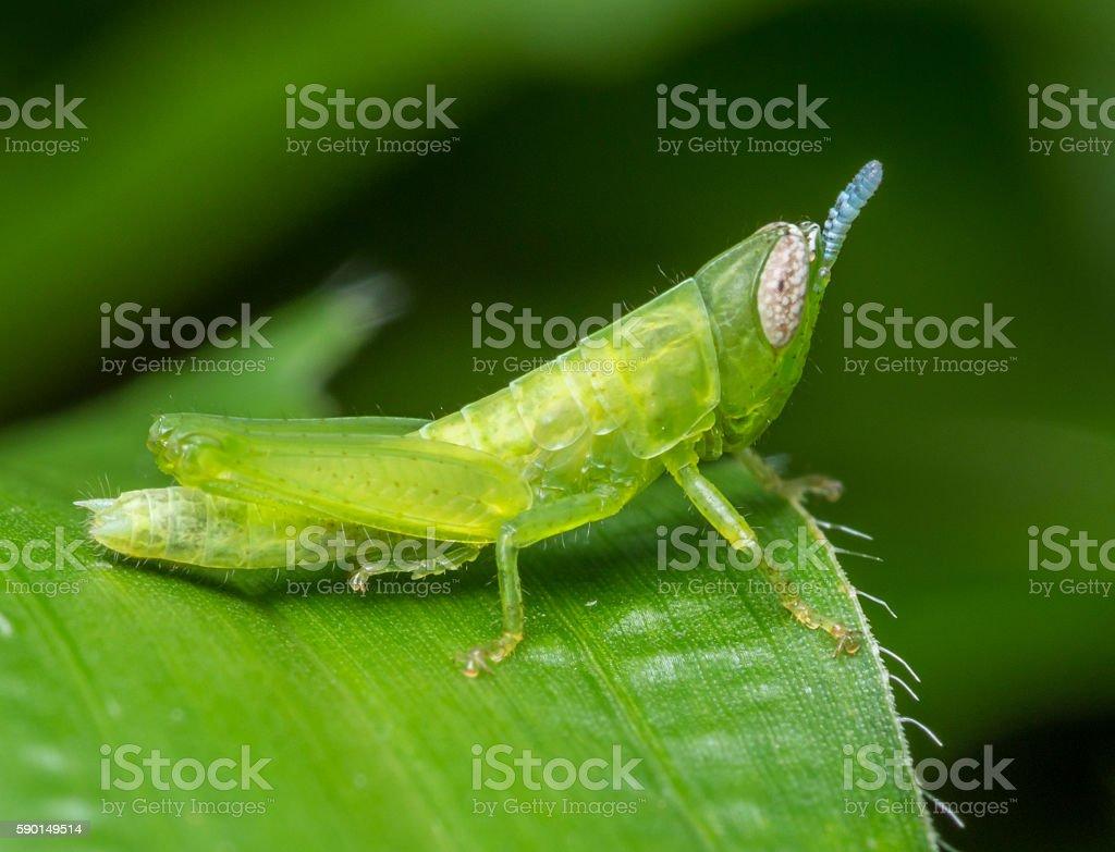 green grasshopper-2 stock photo