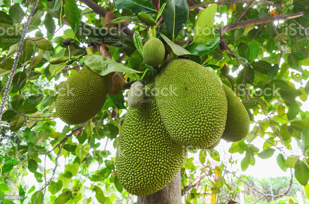 green group jack fruit on the tree stock photo