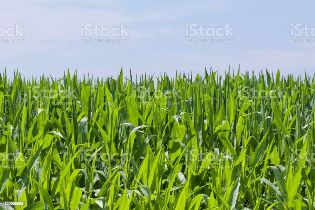Green Growing Corn stock photo