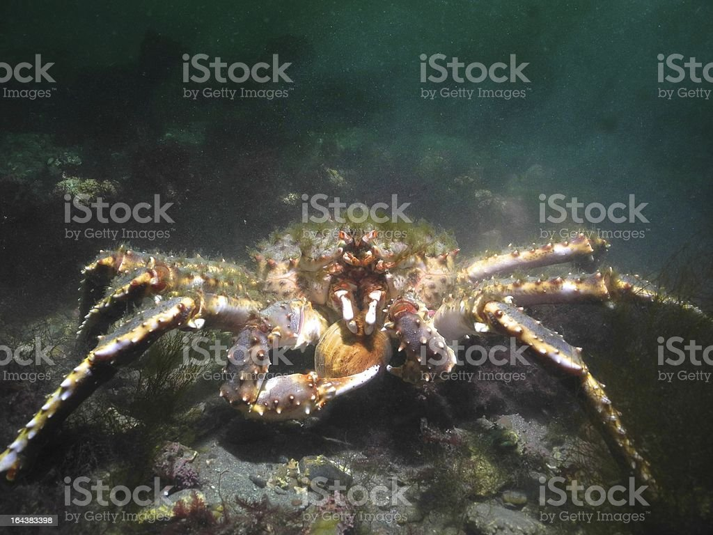Green haired Red King Crab eating shellfish stock photo