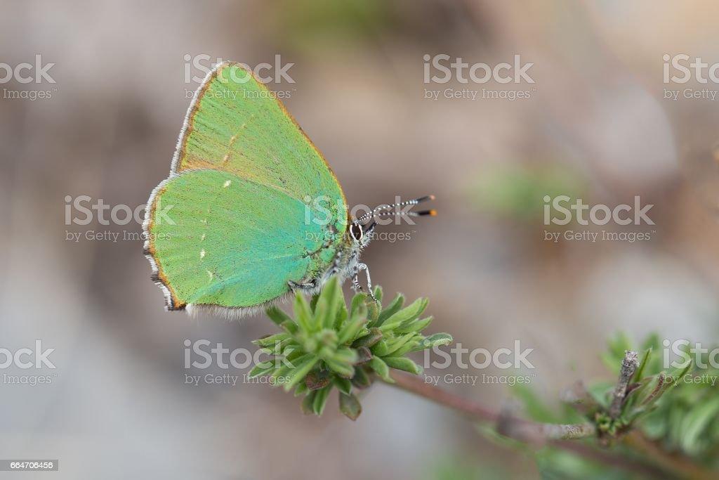 Green hairstreak (Callophrys rubi) stock photo