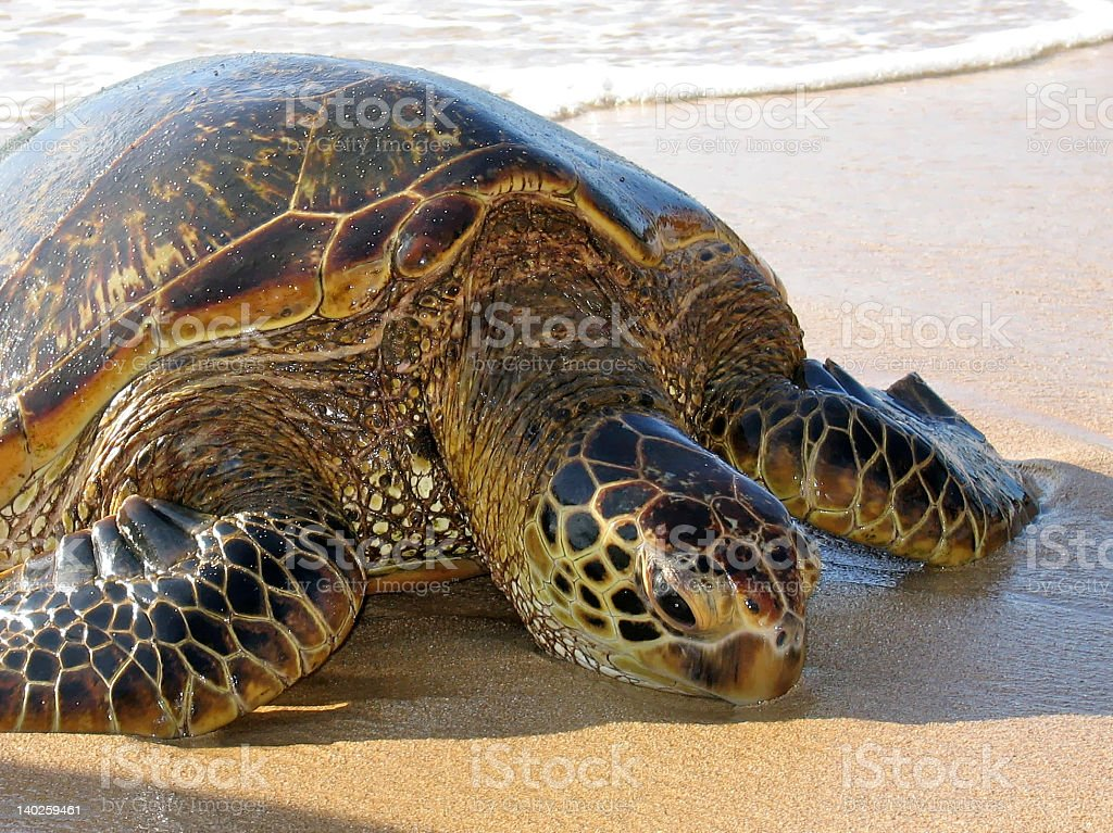 Green Hawaiian Sea Turtle basking on the beach. stock photo