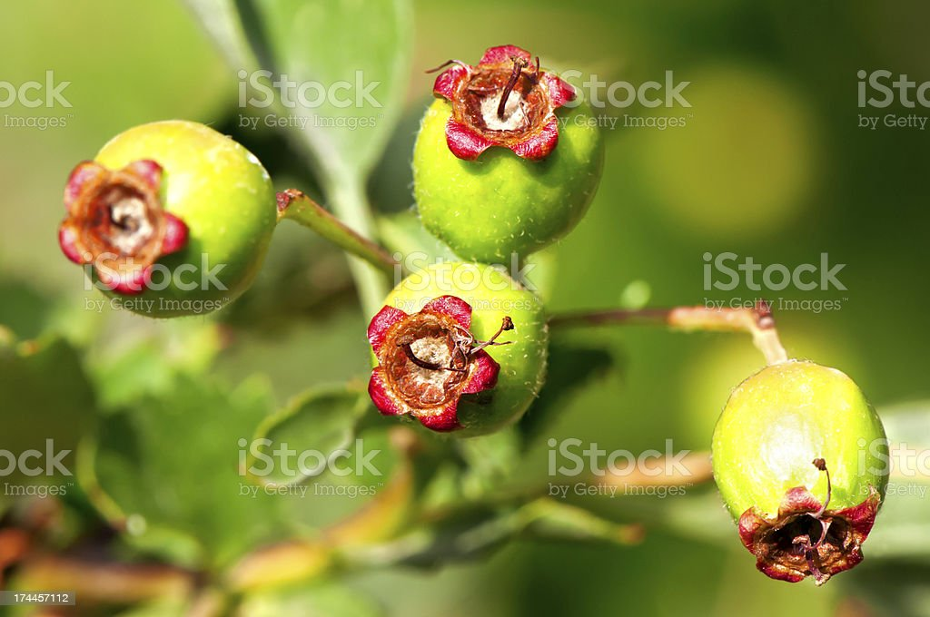 Green hawthorn royalty-free stock photo