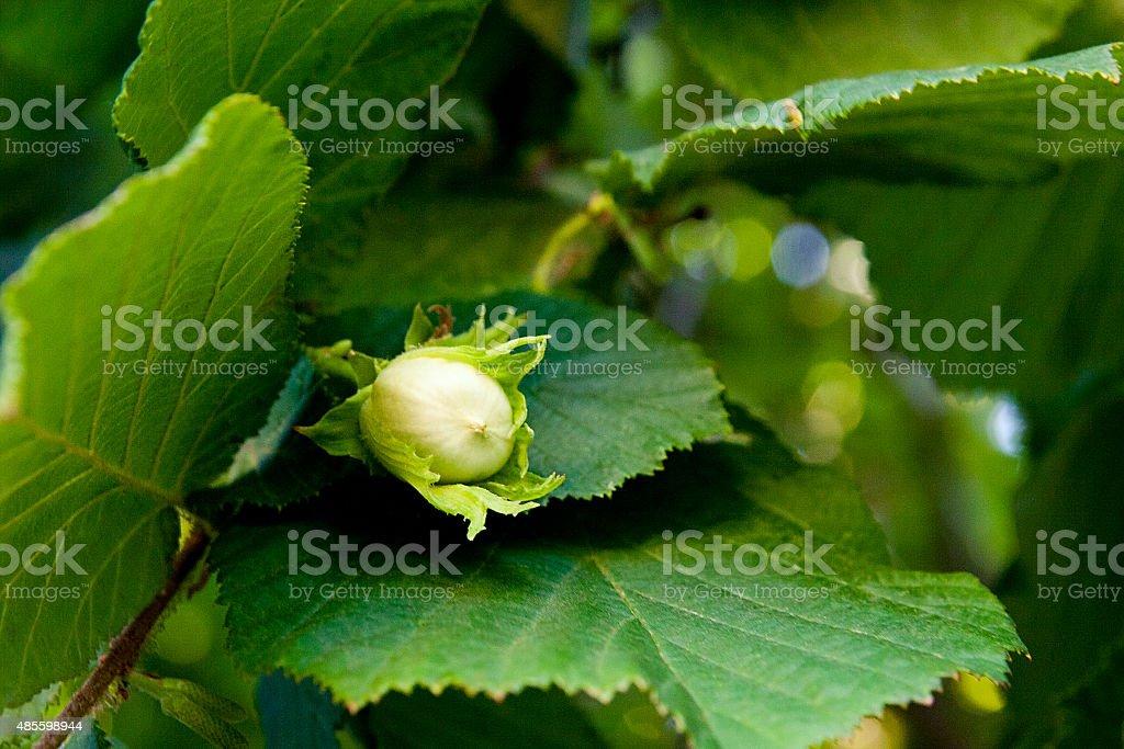 Verde la avellana están creciendo en el árbol foto de stock libre de derechos