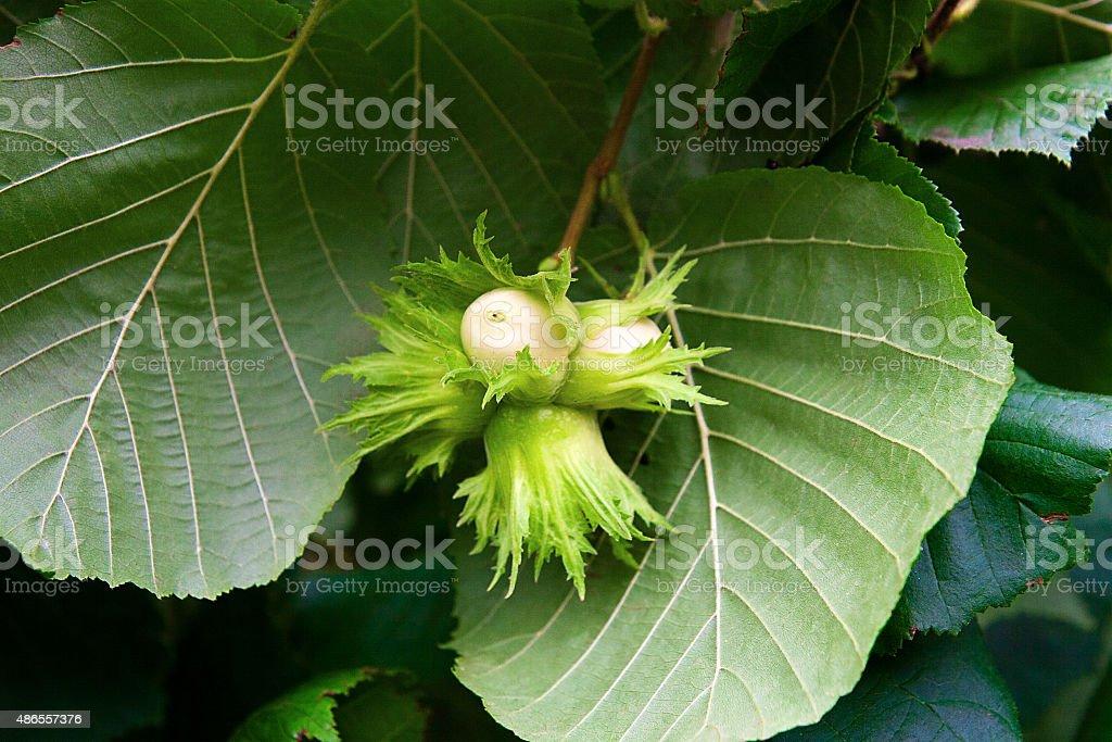 Verde la avellana se crecimiento del árbol. foto de stock libre de derechos