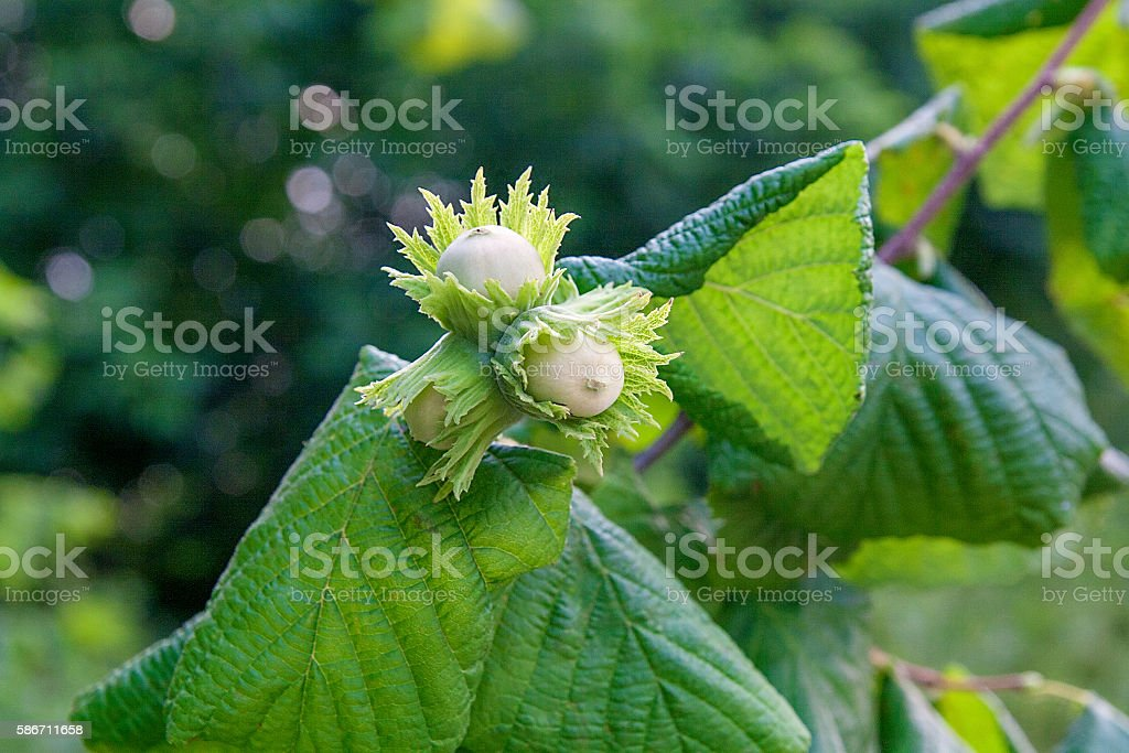 Green hazelnuts are growing on the tree. stock photo