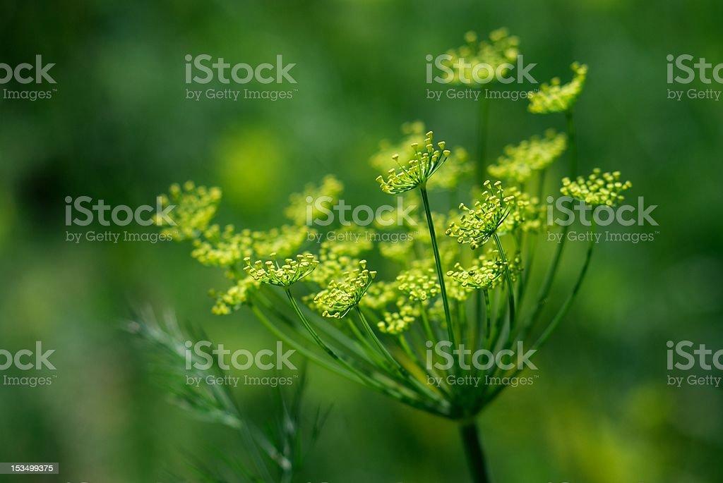 Green healthy dill stock photo