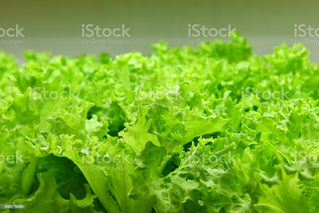 Green healthy lettuce stock photo