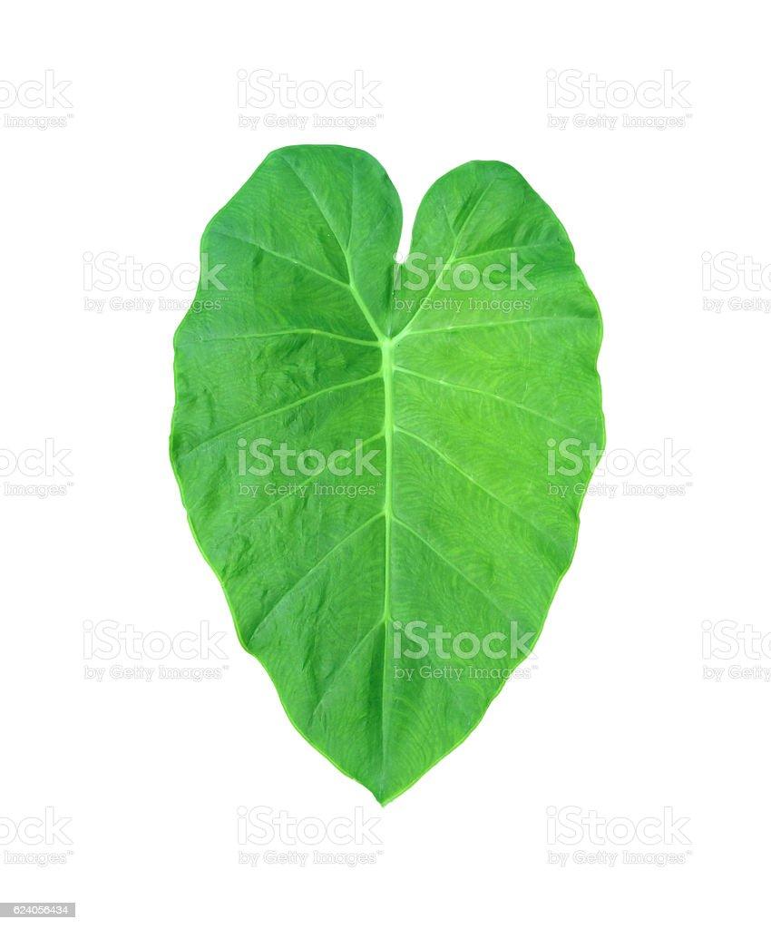 Green heart leaf 'Elephant Ear Plant' isolated stock photo
