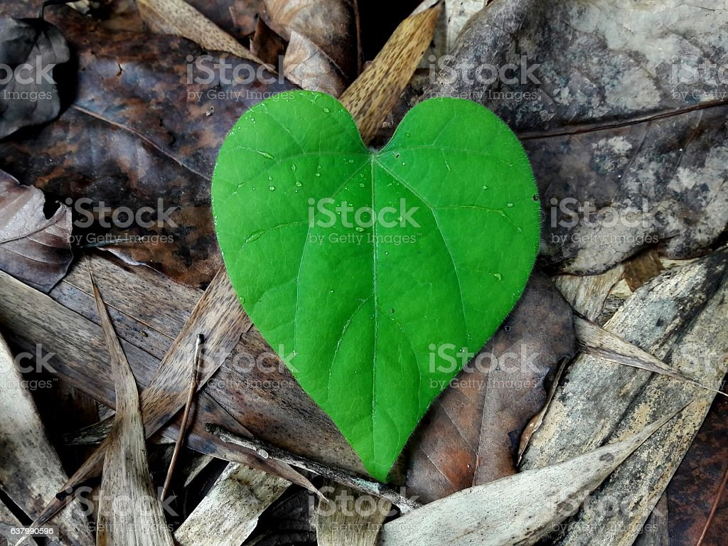 green heart leaf form in the nature stock photo