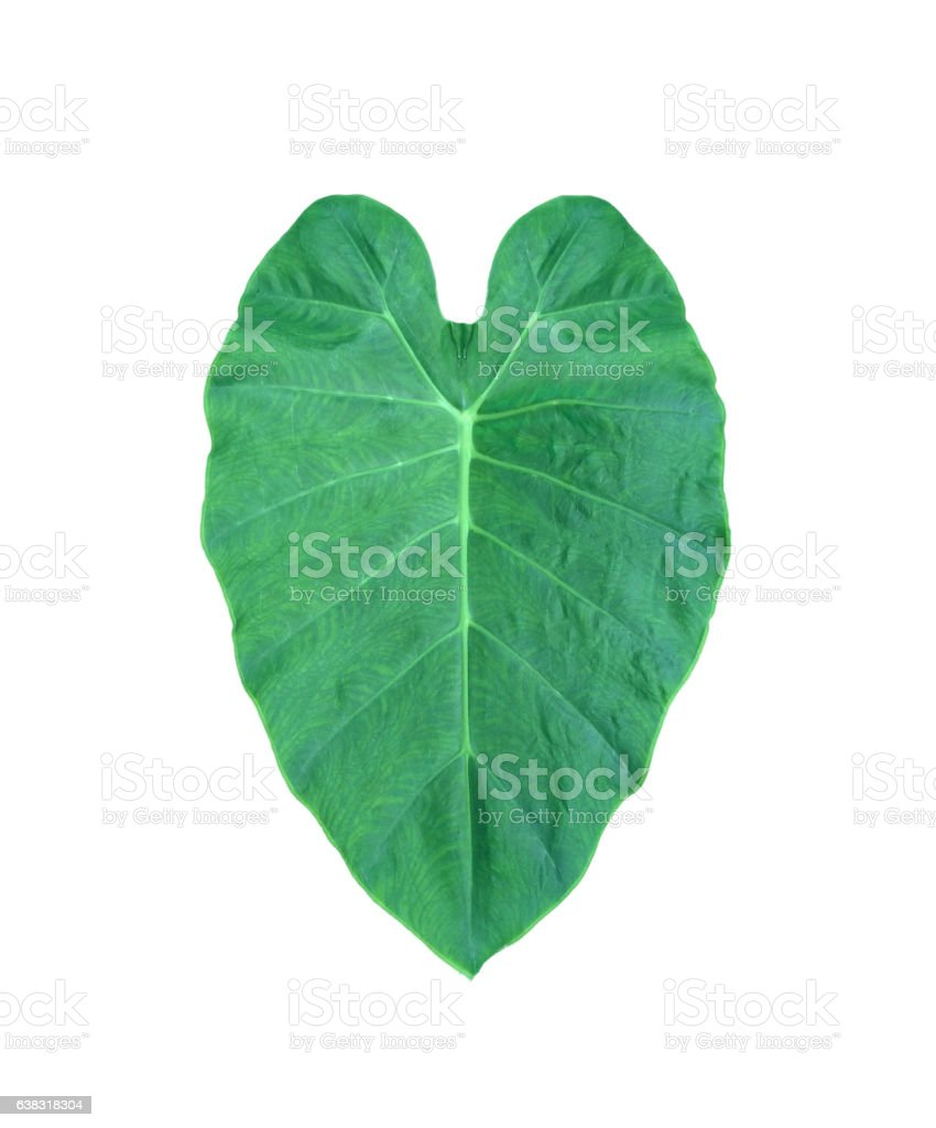 Green heart leaf from tropical in Asia 'Elephant Ear Plant'.Isolated stock photo