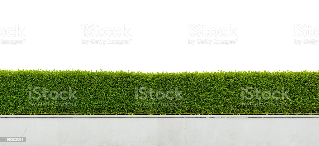 Green hedge isolated on white stock photo