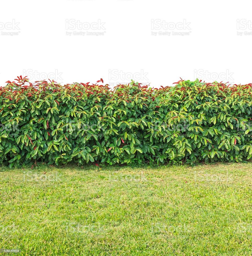 green hedge on isolated stock photo