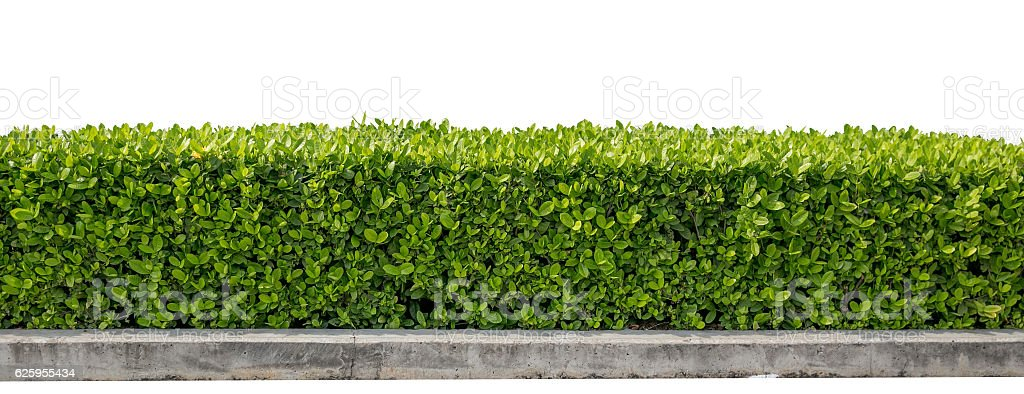 green hedge or Green Leaves Wall isolated on white background