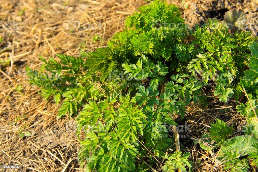 Green hemlock spotted plants (Conium Maculatum) stock photo